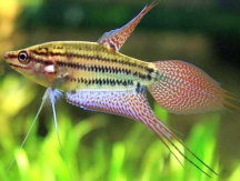 Aquaculture 11540 Croacking Gourami