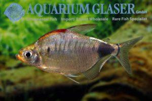 158304-bathyaethiops-caudomaculatus