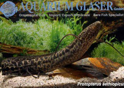 167005-protopterus-aethiopicus