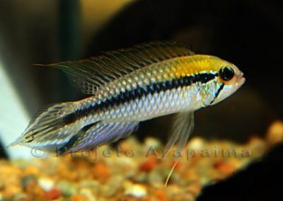 Brazil Apistogramma Agassizii Yellow Head male