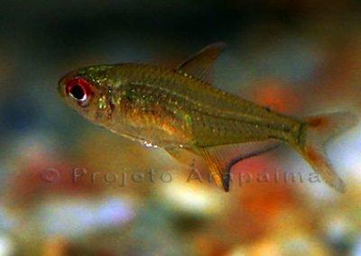 Brazil Ch Hyphessobrycon Pulchripinnis