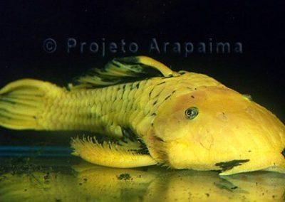 Brazil Parancistrus Aaurantiacus Yellow
