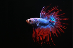 Crowntail Betta (Male)