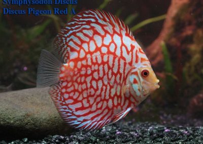 Discus Pigeon Red A