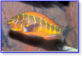 Golden Firecracker Tropheus