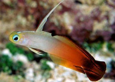 KENYA Firefish