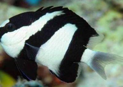 KENYA White tailed Damsel fish