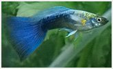 SRI LANKA Guppy Neon Blue