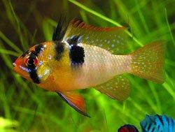 VIETNAM Papiliochromis Ramirezi